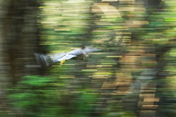 a night heron in flight at Corkscrew Swamp not                   manipulated - the shutter was actuated while following                   the bird with the camera